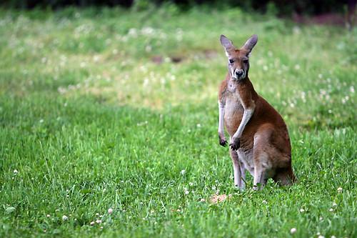 Red Kangaroo (Joey) | IMG_5953Ew | Spike | Flickr