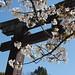 Hokoku Jinja: Sakura