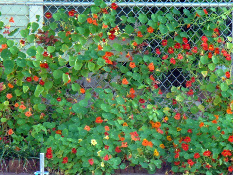 Nasturtiums close up | on the Hurricane fence (N'awlins ...