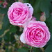 pinkrose, unk
