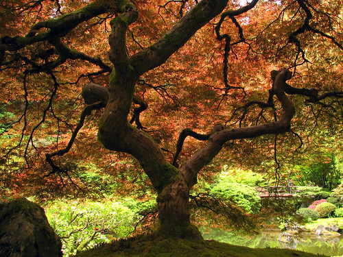 Japanese Gardens Maple | by Gigapic