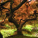 Japanese Gardens Maple
