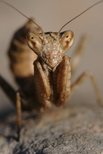 Portrait of a mantis | by macropoulos