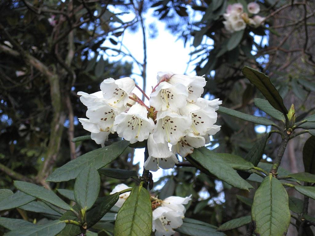 White magnolia tree white magnolia tree in edinburgh for Magnolia tree