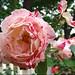 roseredwhite2