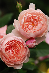 The Alnwick Rose | by naoko123
