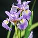 Iris Against Black