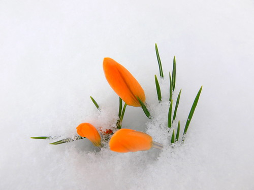 Crocus in the Snow | by Corbeau du Nord