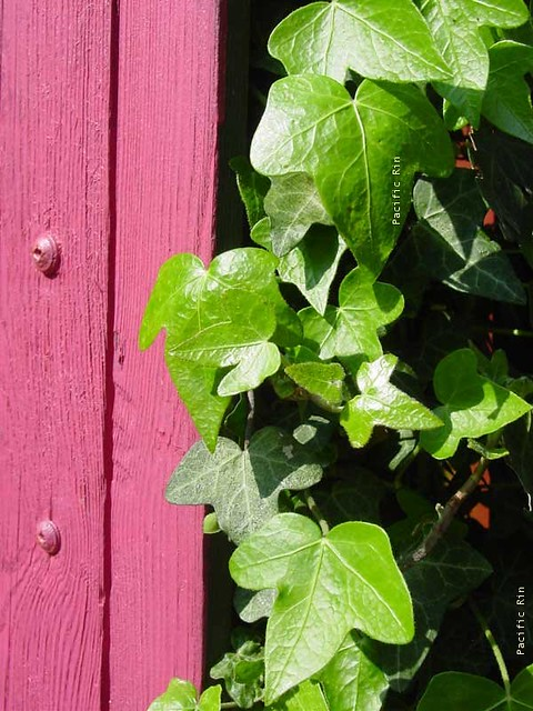Pink Gate And Green Ivy Pink And Green Such A