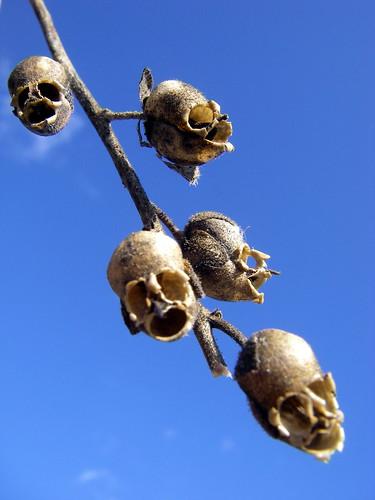 Skull-like Snapdragon seed capsules