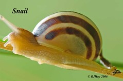 Snail | by Ron Hay