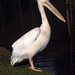 pelican posing @ fota wildlife park