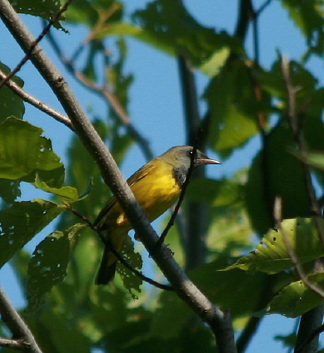 Mourning Warbler | by Scott A. Young