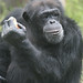 What is this chimp thinking?