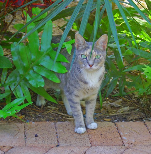 Hemingway House cat | by javajem