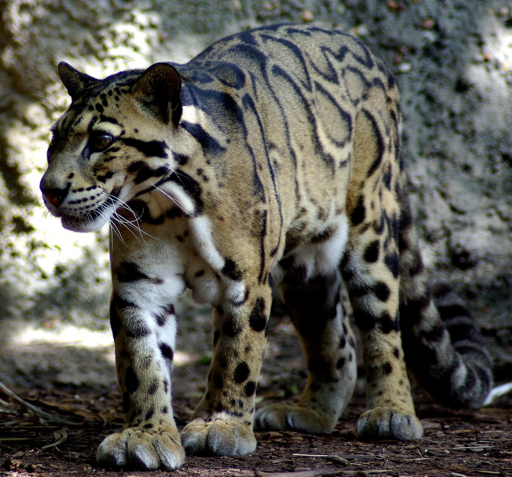 Clouded Leopard South Fl Usa Zoo Dpfunsun Flickr