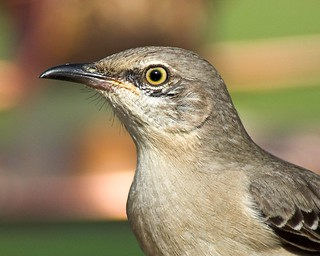 Tennessee State Bird --Northern Mockingbird | by Momba (Trish)