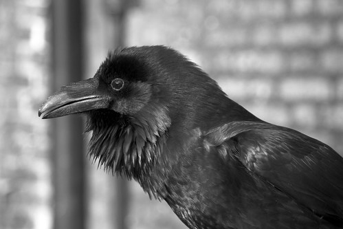 Tower of London - Raven | by Michael Spry