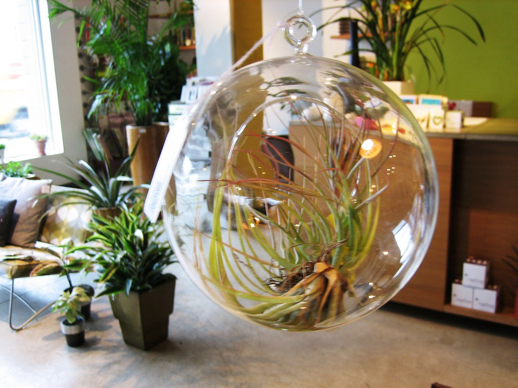Hanging glass globe terrarium sprout home chicago jan flickr hanging glass globe terrarium by apartment therapy gumiabroncs