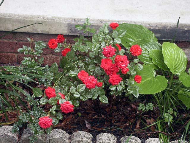Miniature red rose bush jonathan flickr - Rosier miniature exterieur ...