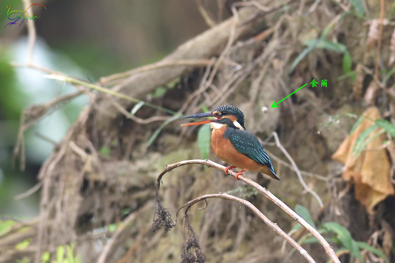 Common_Kingfisher_3741