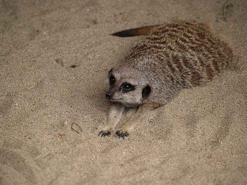 Meerkats | by over.hilowsee