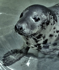 Baby seal | by Rainbowz Art
