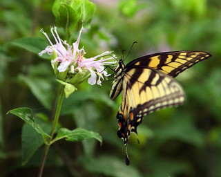 Swallowtail :Edited with DPP | by Studio E