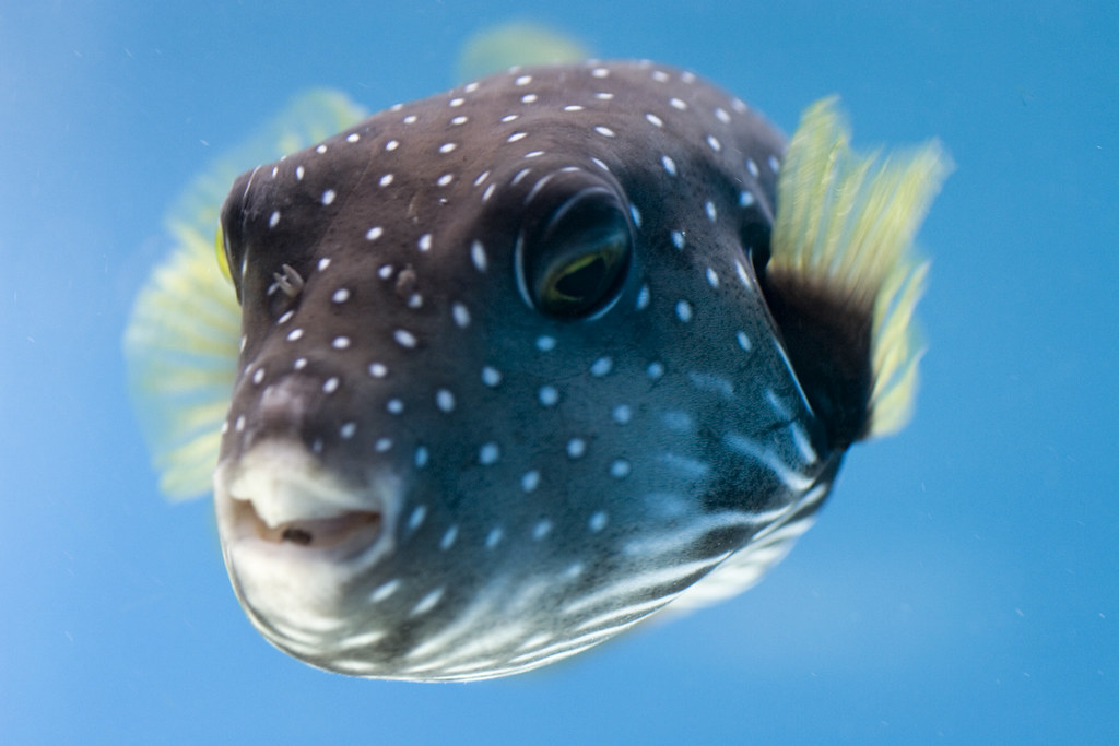 Hawaii 6 spotted puffer fish saying hi i am for What do fish see