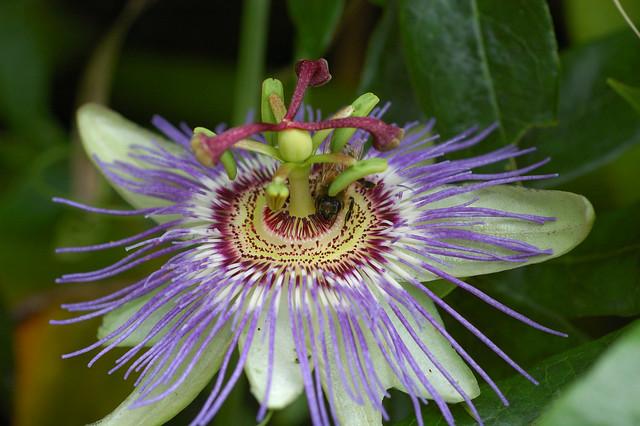 passiflora caerulea flickr photo sharing. Black Bedroom Furniture Sets. Home Design Ideas