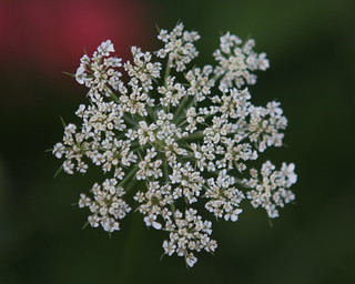 Queen Anne's lace | by Richard-