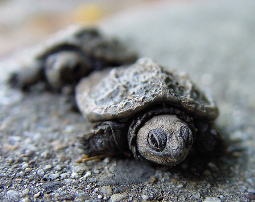 March of the Baby Turtles | by Clearly Ambiguous