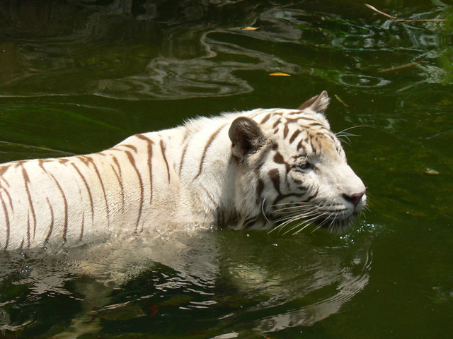White tigers in water - photo#5