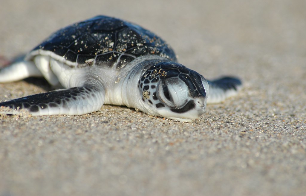 Green turtle hatchling cord1964 flickr - Cute turtle pics ...