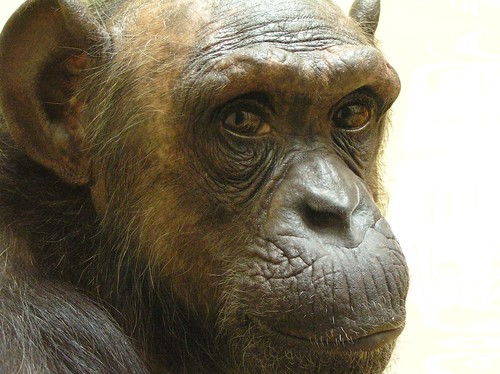 Chimp Maaike | by belgianchocolate