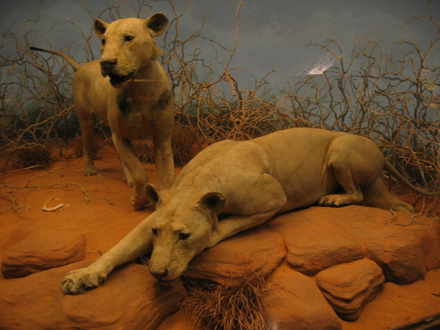 the man eaters of tsavo by In the year 1898, a railroad camp in tsavo, kenya was terrorised over several  months by a pair of lions who killed and ate an estimated three.
