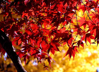 red and yellow leaves | by Muffet