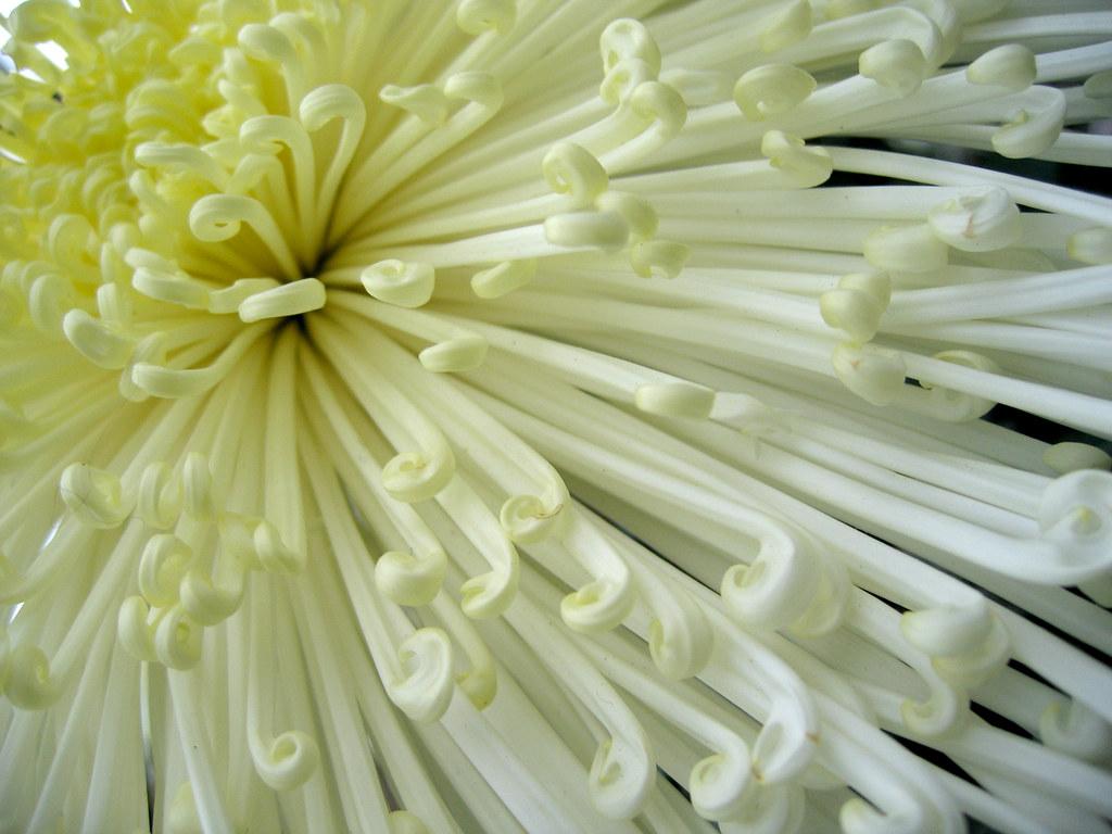 ȏ� Chrysanthemum Chrysanthemum Show Nov 2005 Lincoln