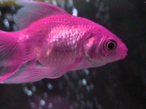 Pink fish a mutated version of gold fish lol jk for Cute names for fish