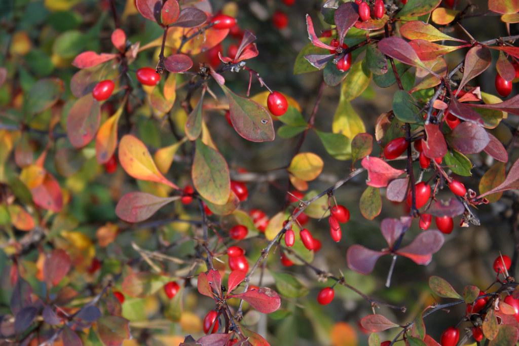 Berberis Thunbergii Atropurpurea Crimson Pygmy Crimson pygmy barberry...