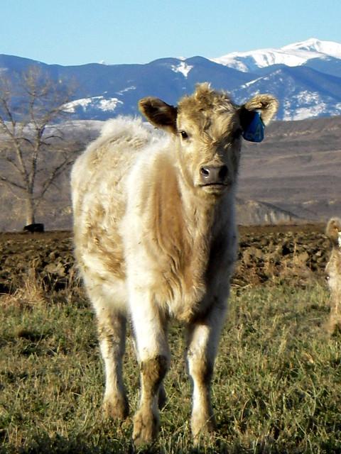 Charolais HeiferCharolais Heifer