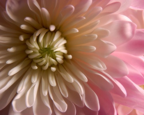 Chrysanthemum | by J. Star