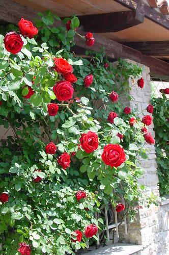 red rose sympathie a wonderful red rambler rose called flickr. Black Bedroom Furniture Sets. Home Design Ideas
