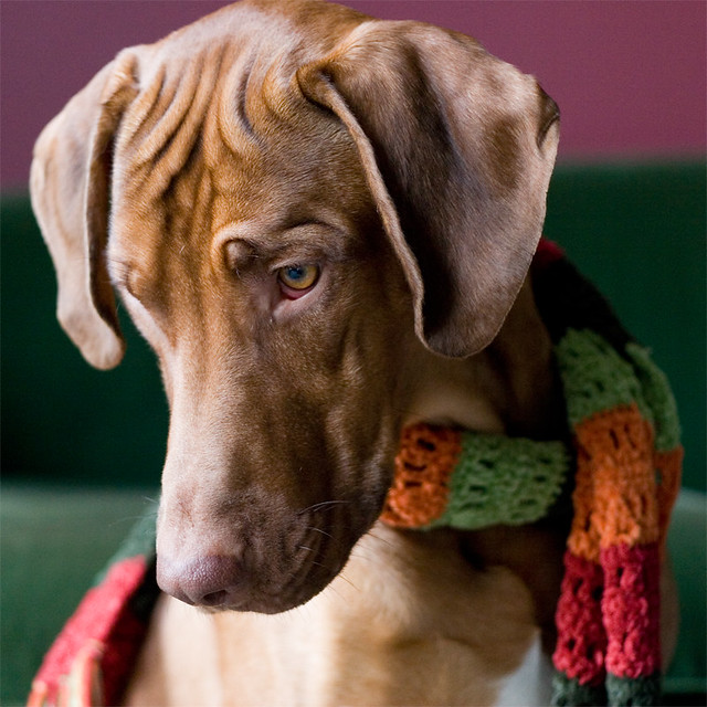 As though we hadn't known it all along: Ridgebacks are fashionable dogs!