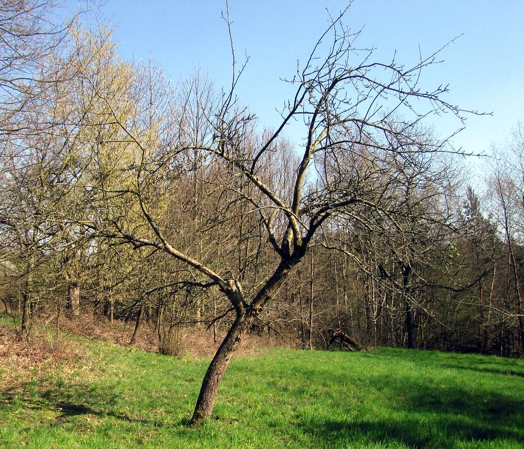 nachher verwachsener alter apfelbaum 1 so sah der baum. Black Bedroom Furniture Sets. Home Design Ideas