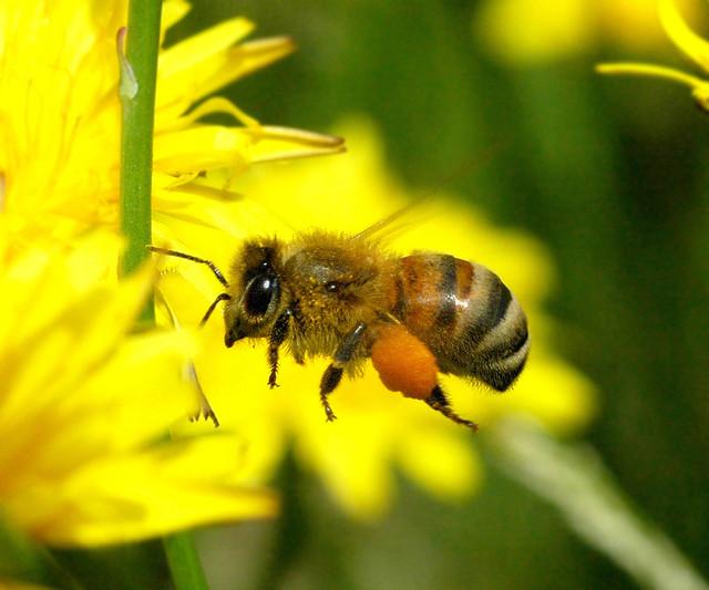 european honey bee on flight seiyou oushu  mitsu bachi