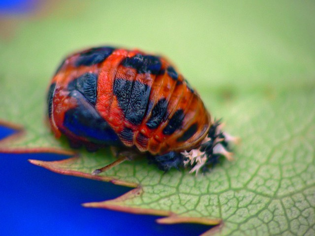 Ladybug Cocoon Cocoon Of A Ladybug Thanks For The Link