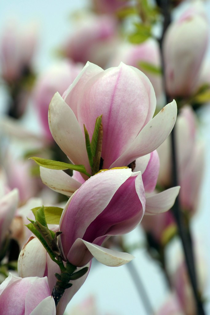 Are asian magnolia flower photo 706 hope