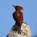 Banded woodpecker - female