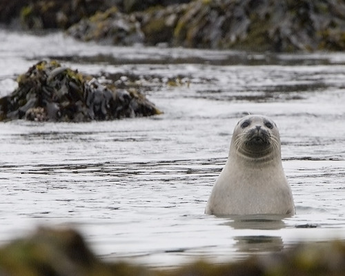 Harbor Seal - Estero Bluffs harbor-seals-estero-bluffs_A | by mikebaird